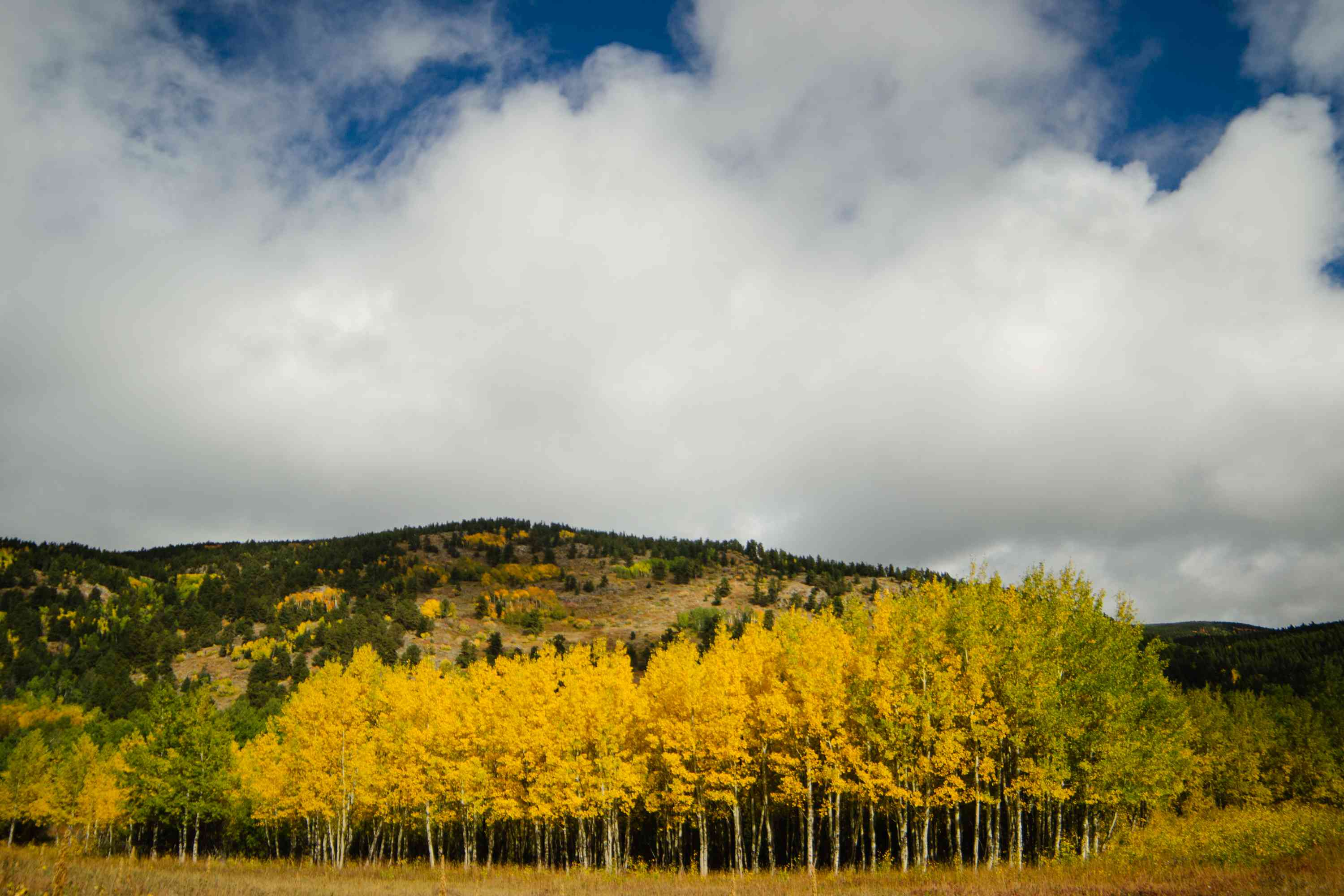 Quaking aspen trees with golden-yellow and green leaves in front of mountainside