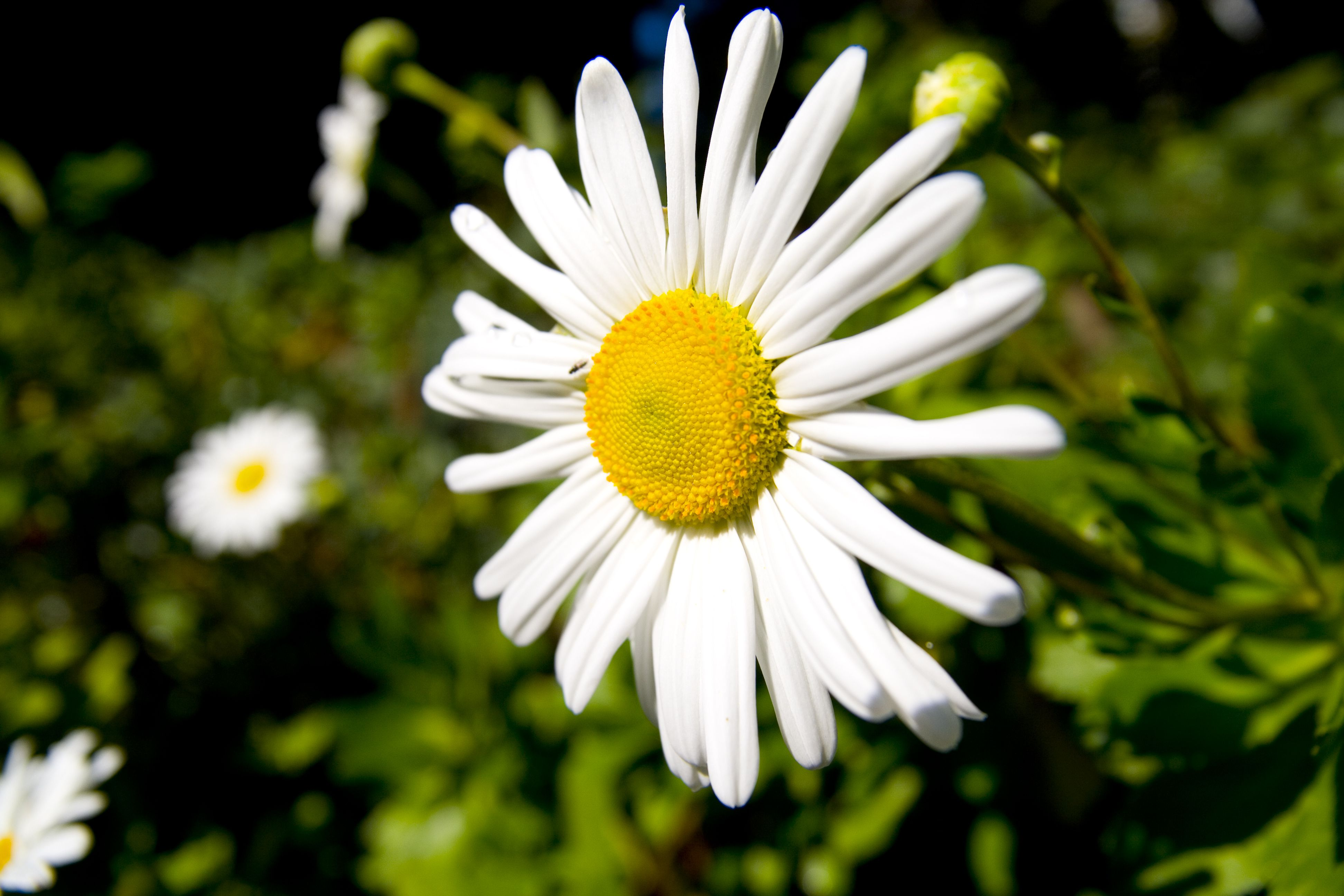 Montauk daisies how to grow a late blooming standout izmirmasajfo