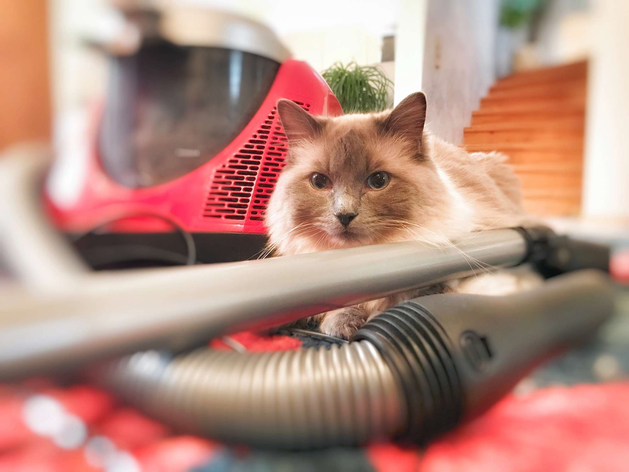Vacuum with a cat nearby.