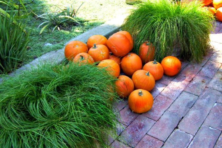 Hierbas ornamentales verdes brillantes con calabazas naranjas  , vides de batata