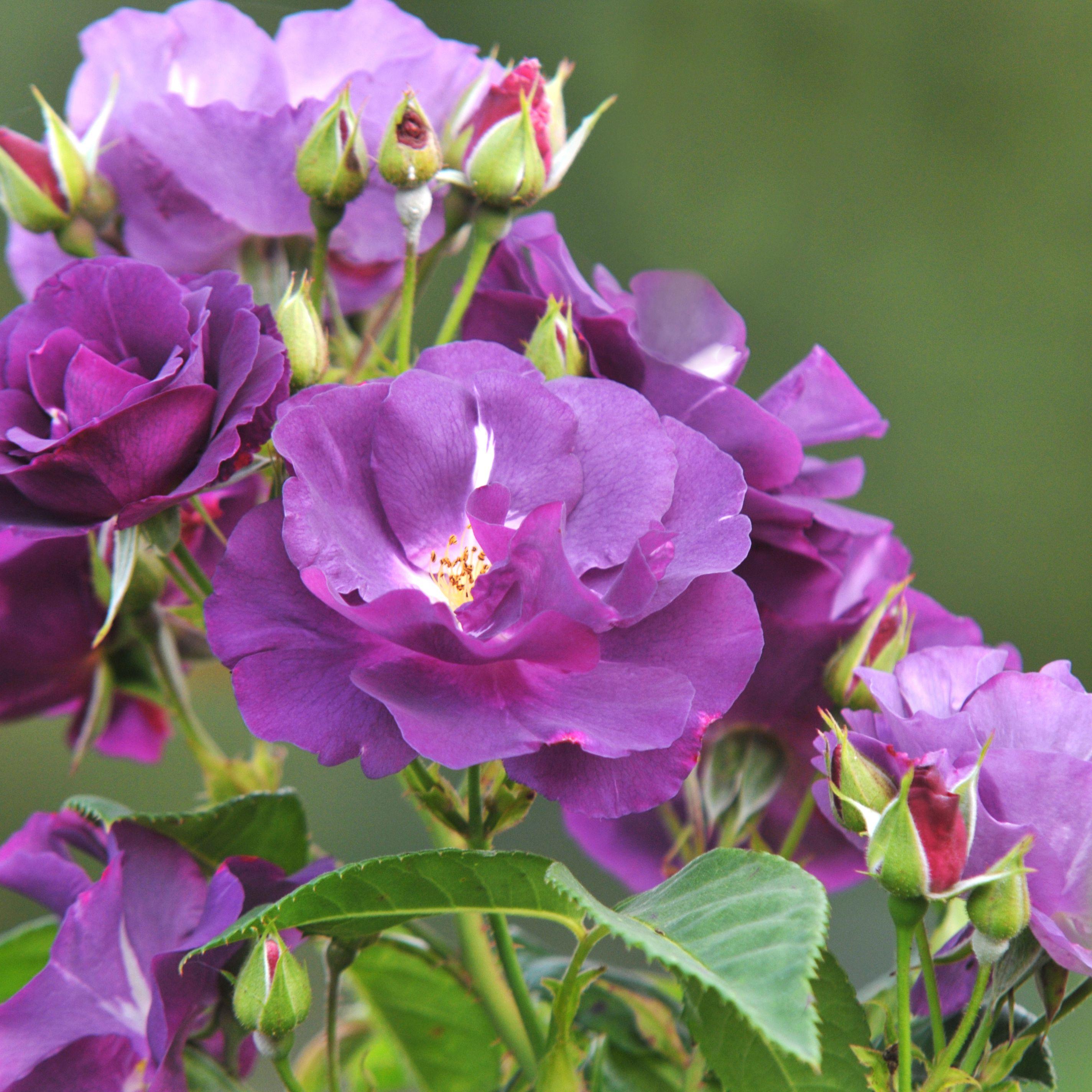 14 Floribunda Roses For Your Flower Garden