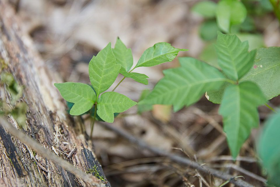 Poison ivy plant at tree base to be removed closeup