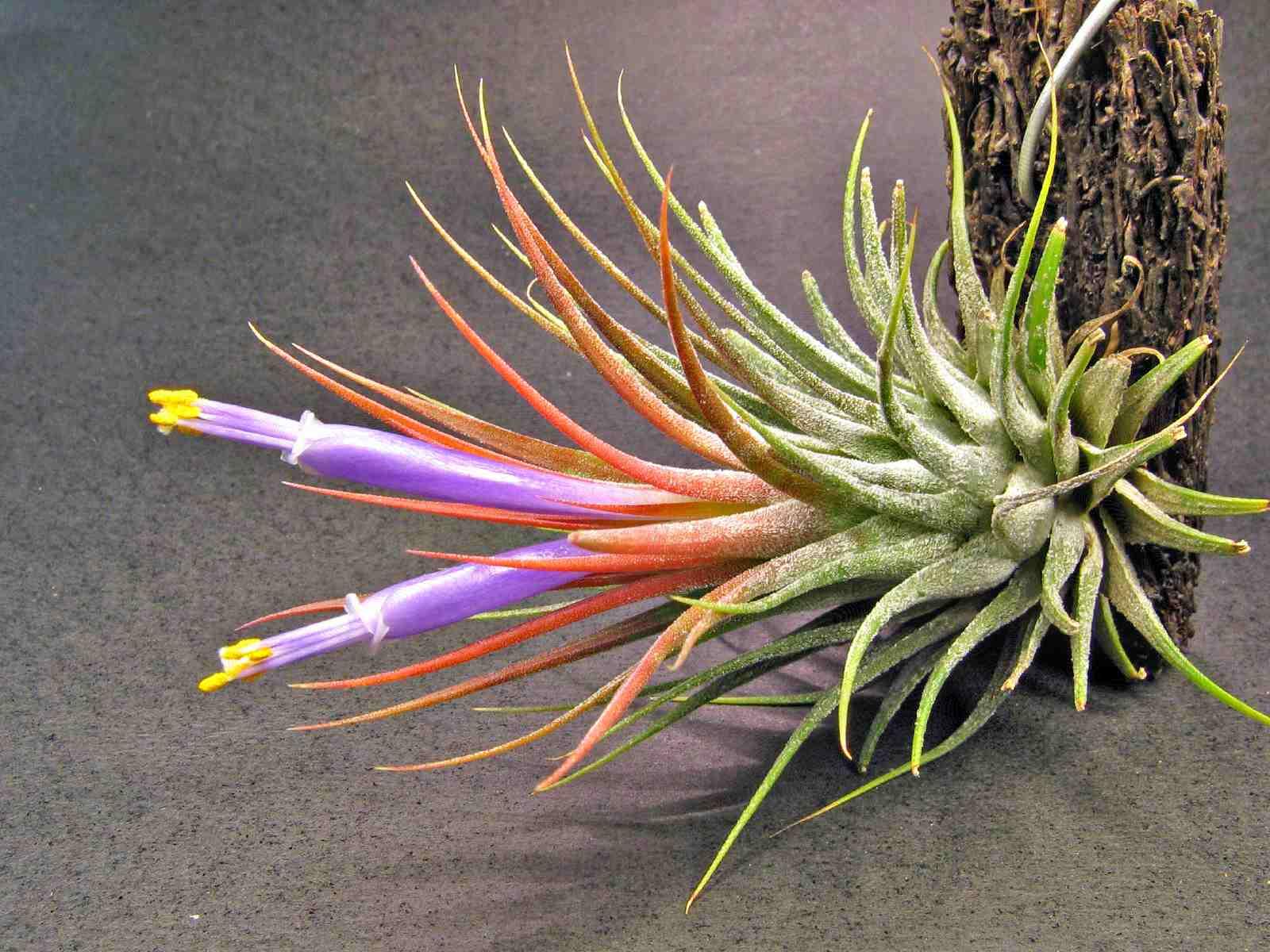Planta de aire - Tillandsia ionantha