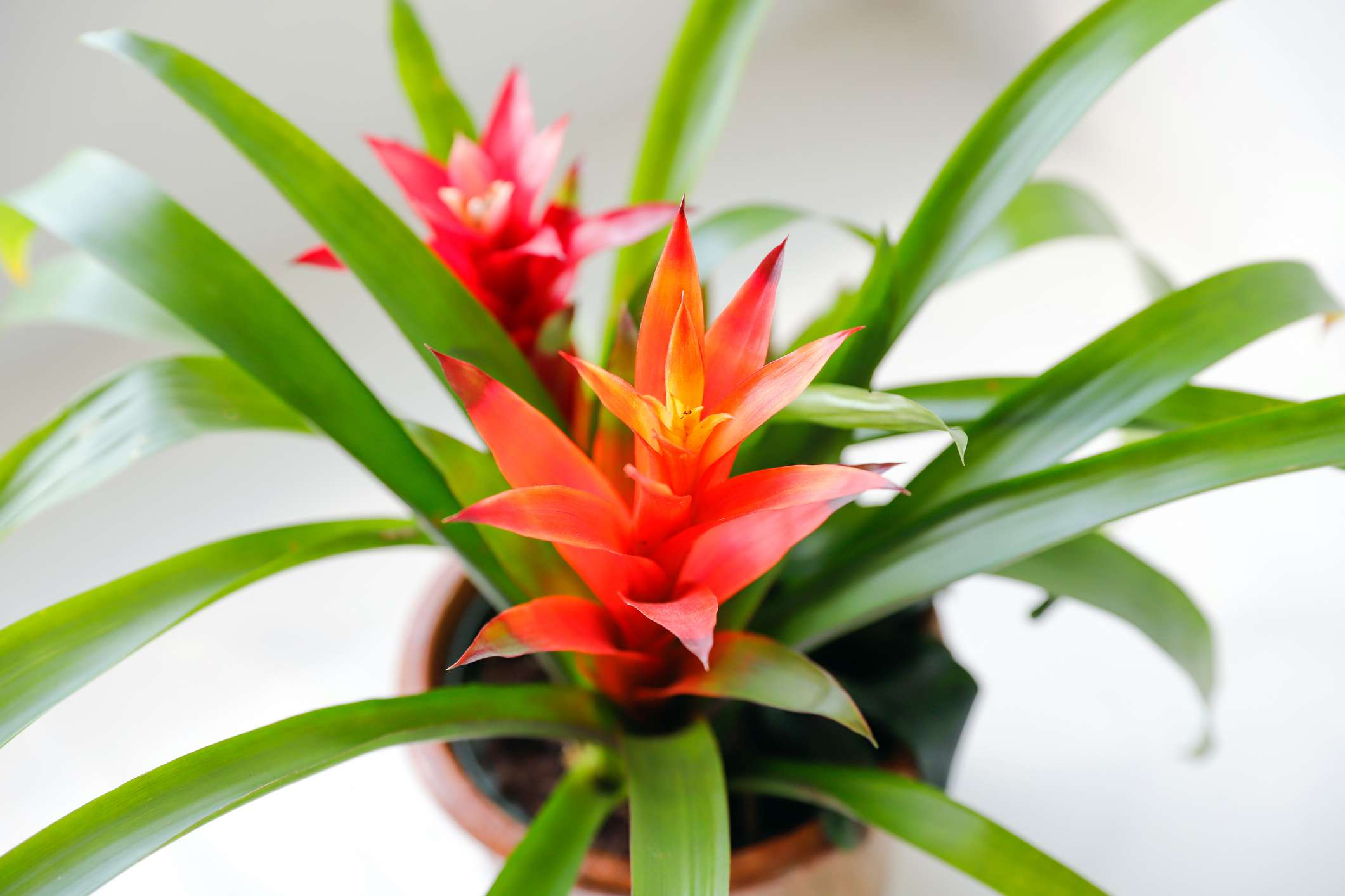 A close up shot of a green and red bright bromeliad.