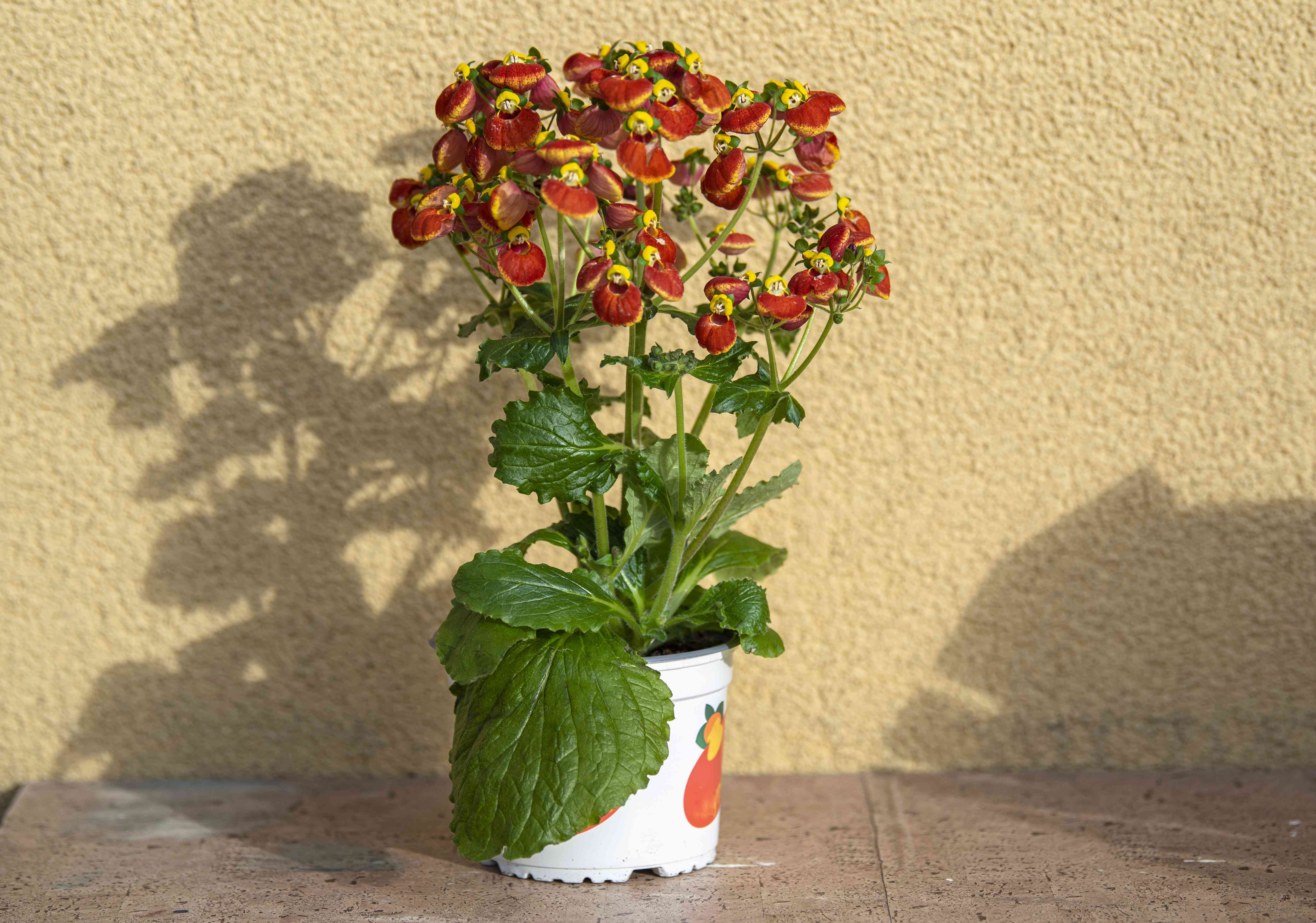 Calceolaria houeplant in white pot with large leaves and red and yellow slipper-like flowers casting shadow