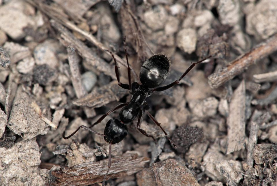 Black Field Ant