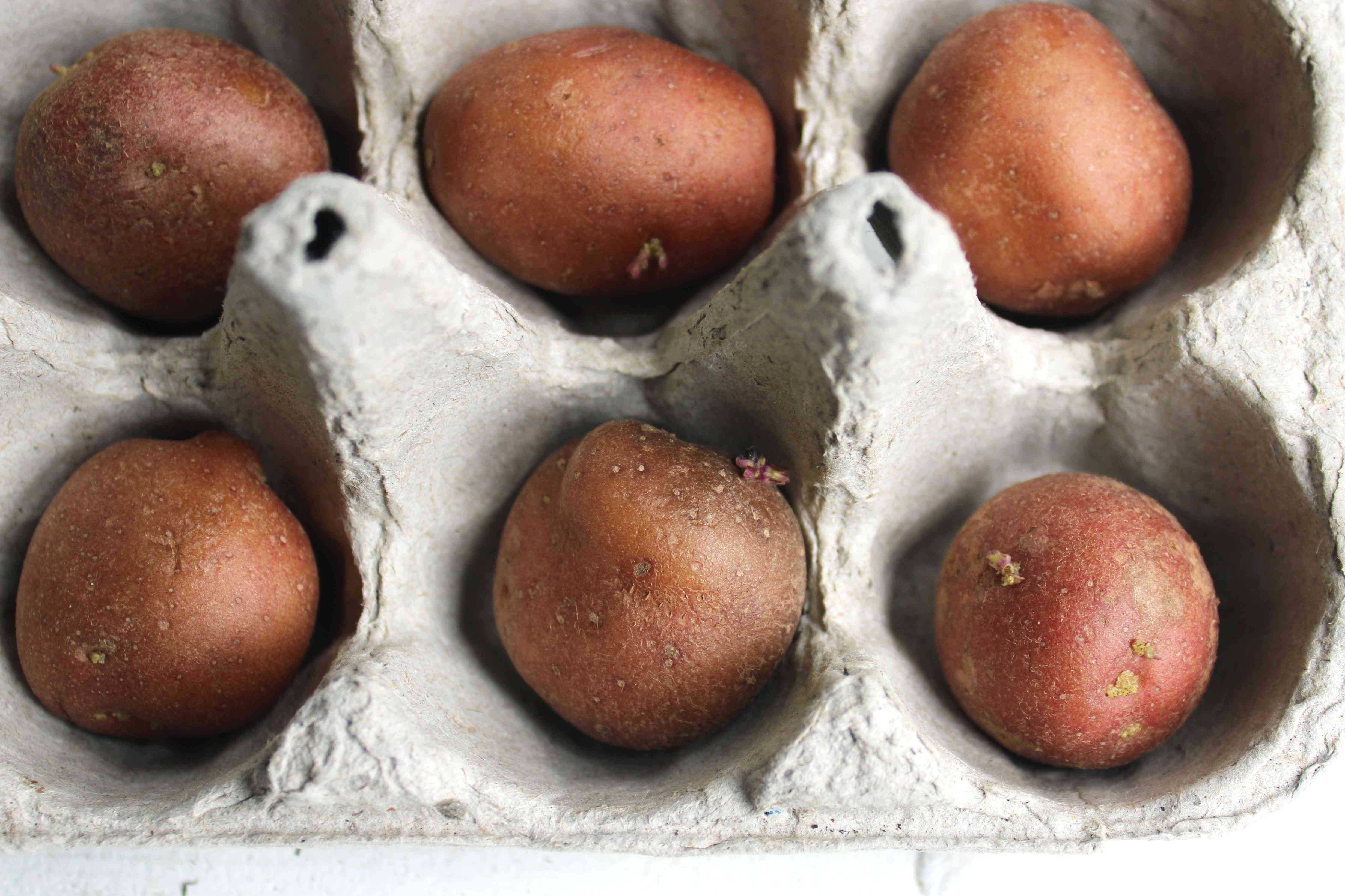seed potatoes in a cardboard planter