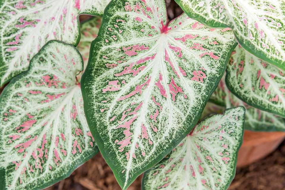 closeup of caladium leaves