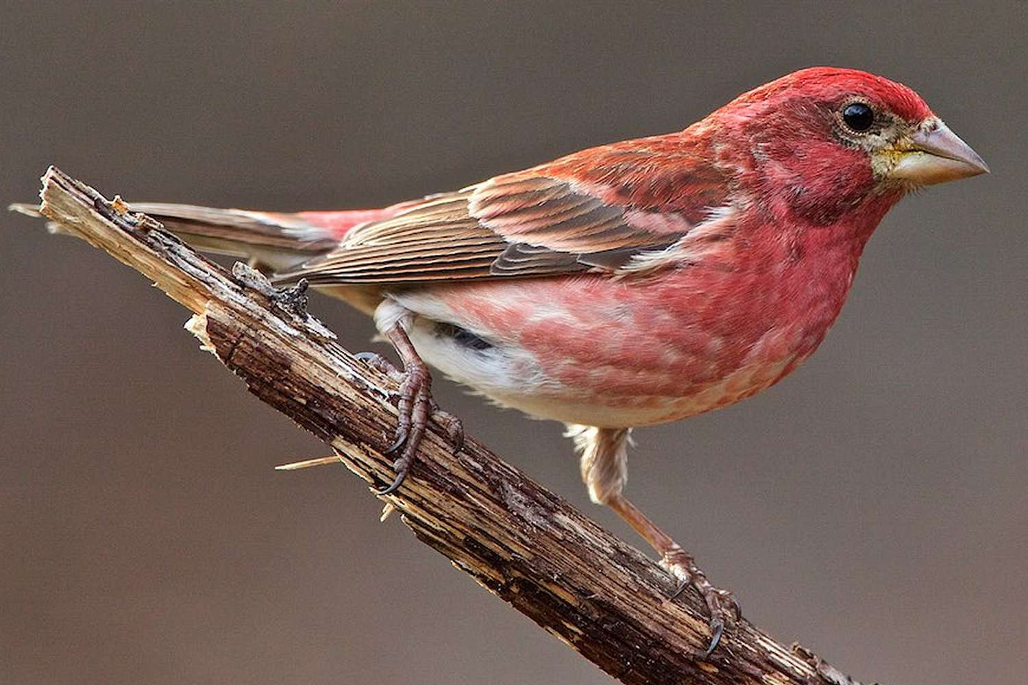 Purple Finch, el pájaro estatal de New Hampshire, en una rama.