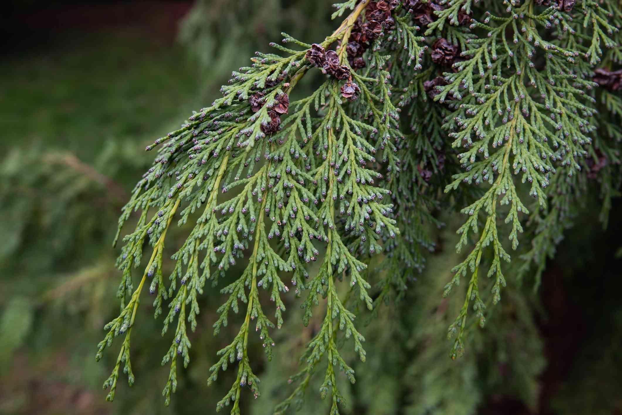 Nootka Cypress Leaves in Winter