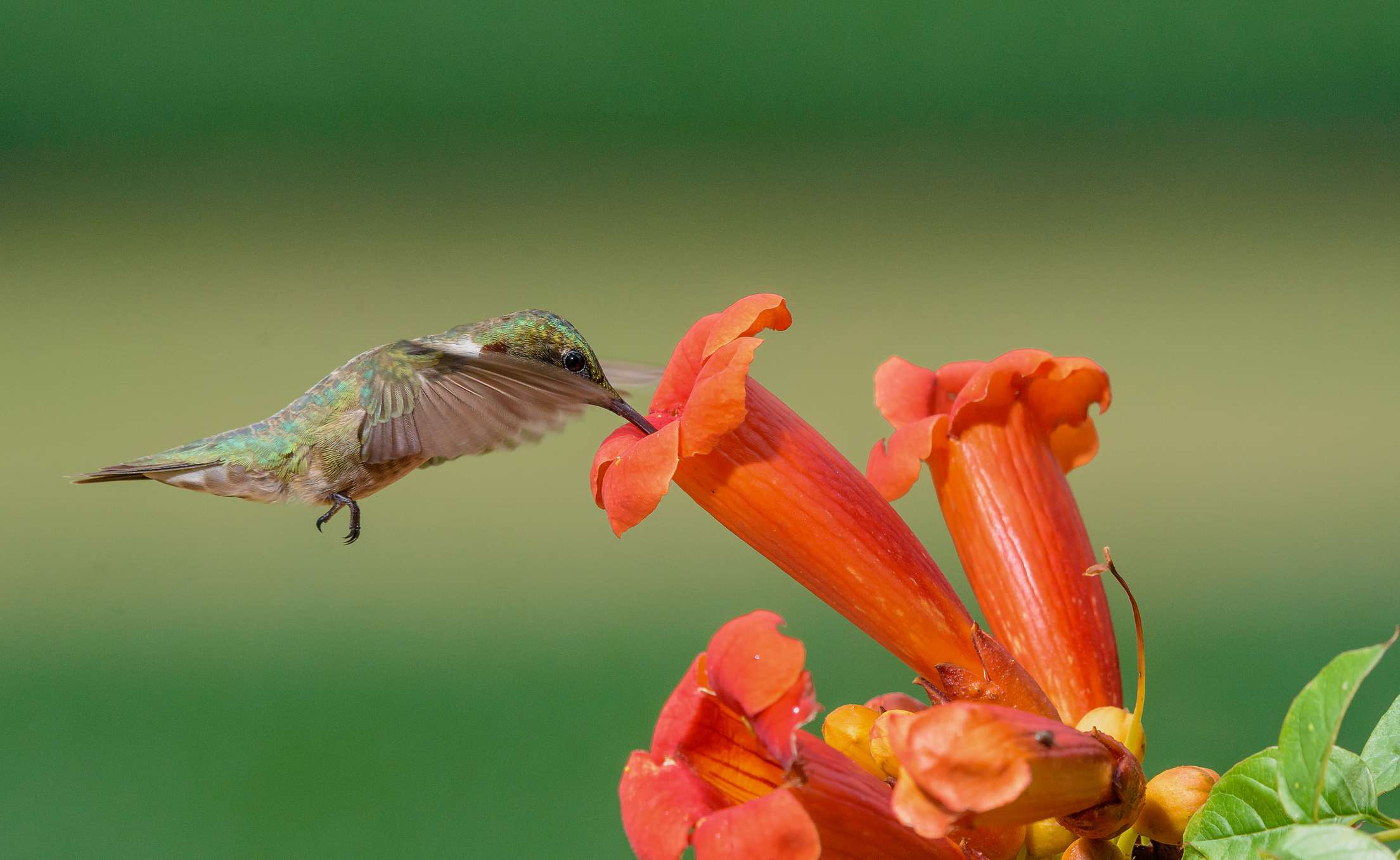 Ruby-throated hummingbird and a trumpet vine flower