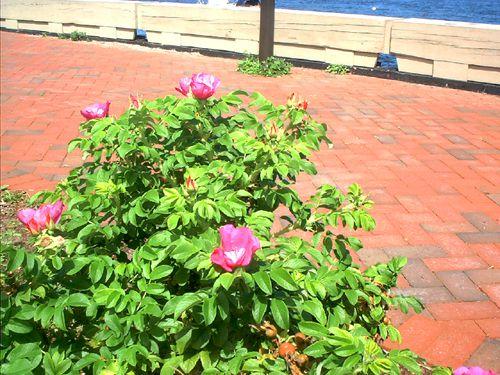 Imagen de rosa de playa .