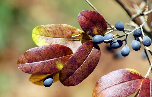 Photo showing privet berries and the shrub's fall foliage color.