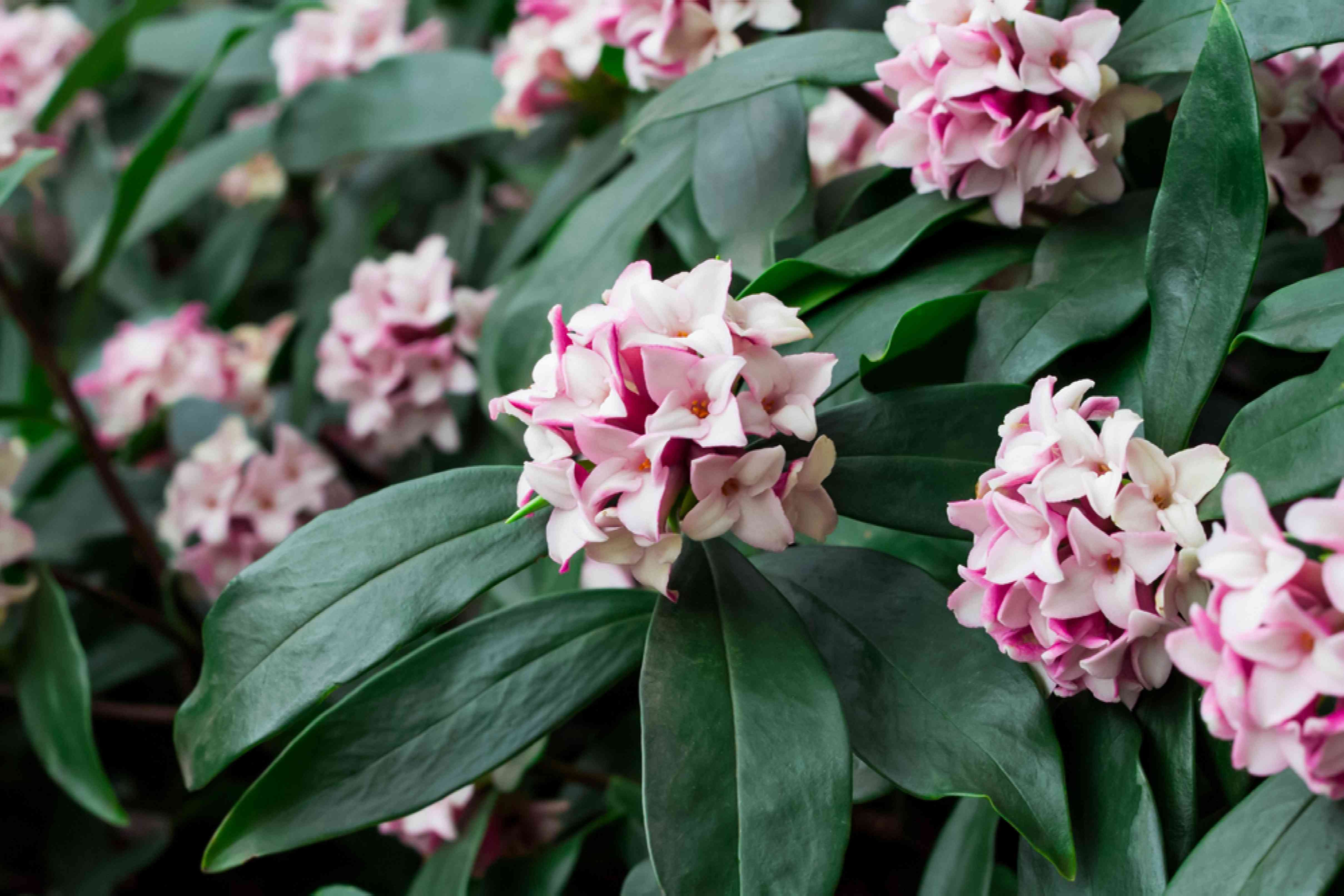 Daphne shrub with with and pink flowers