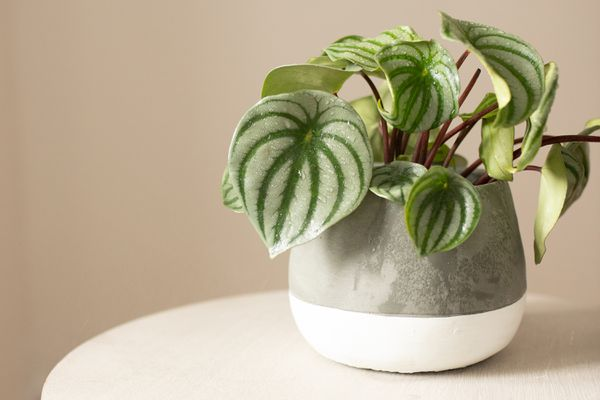 Watermelon peperomia plant with rounded variegated light and dark green leaves in gray and white pot