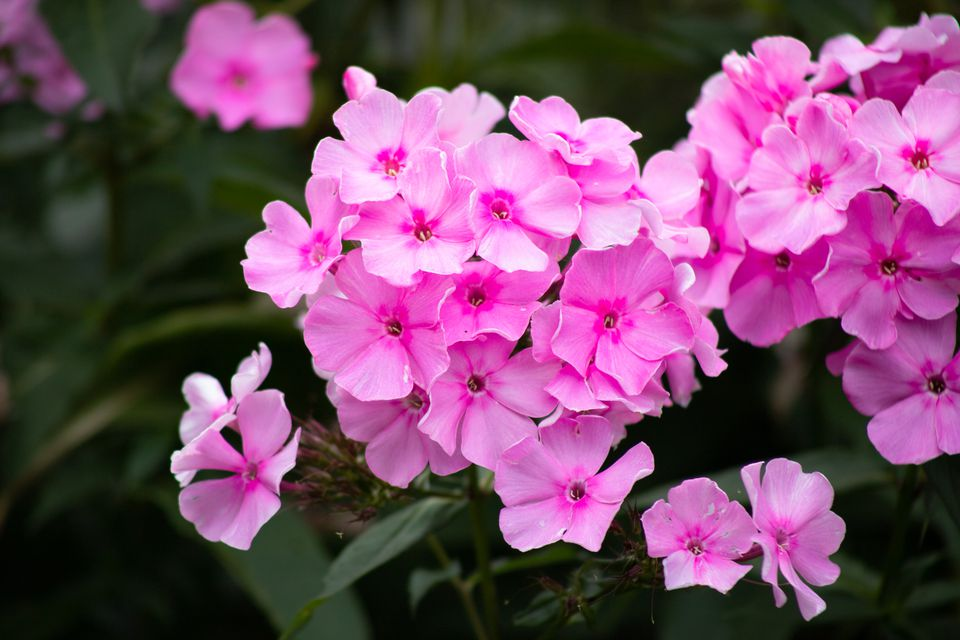 Phlox drummondii with pink flowers closeup