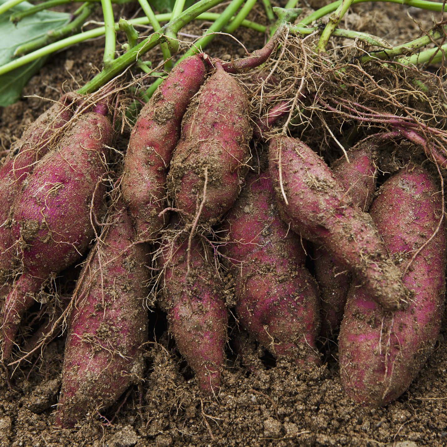 How to Grow and Care for Sweet Potatoes