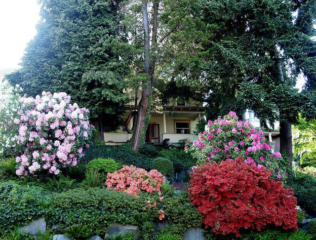 Arbustos de azalea