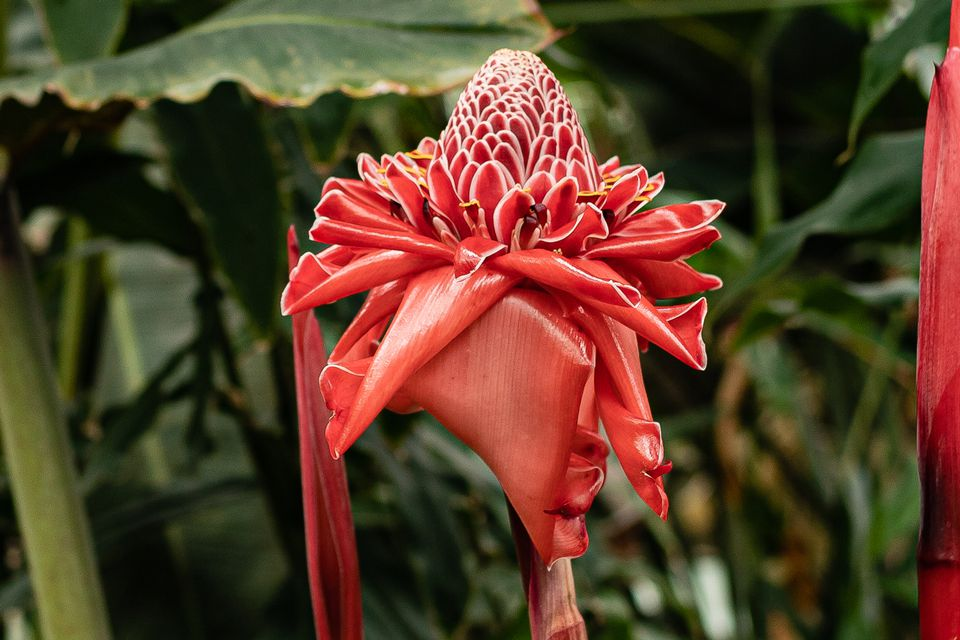 Torch ginger plant with red drooping bracts surrounding cone-shaped flower head