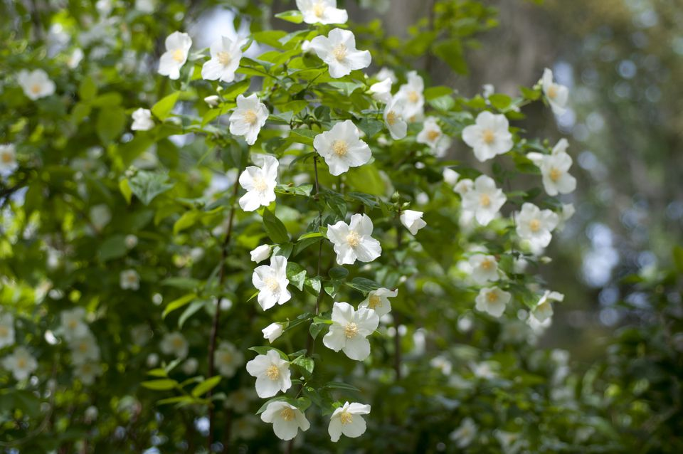 Philadelphus, Mock Orange Blossoms