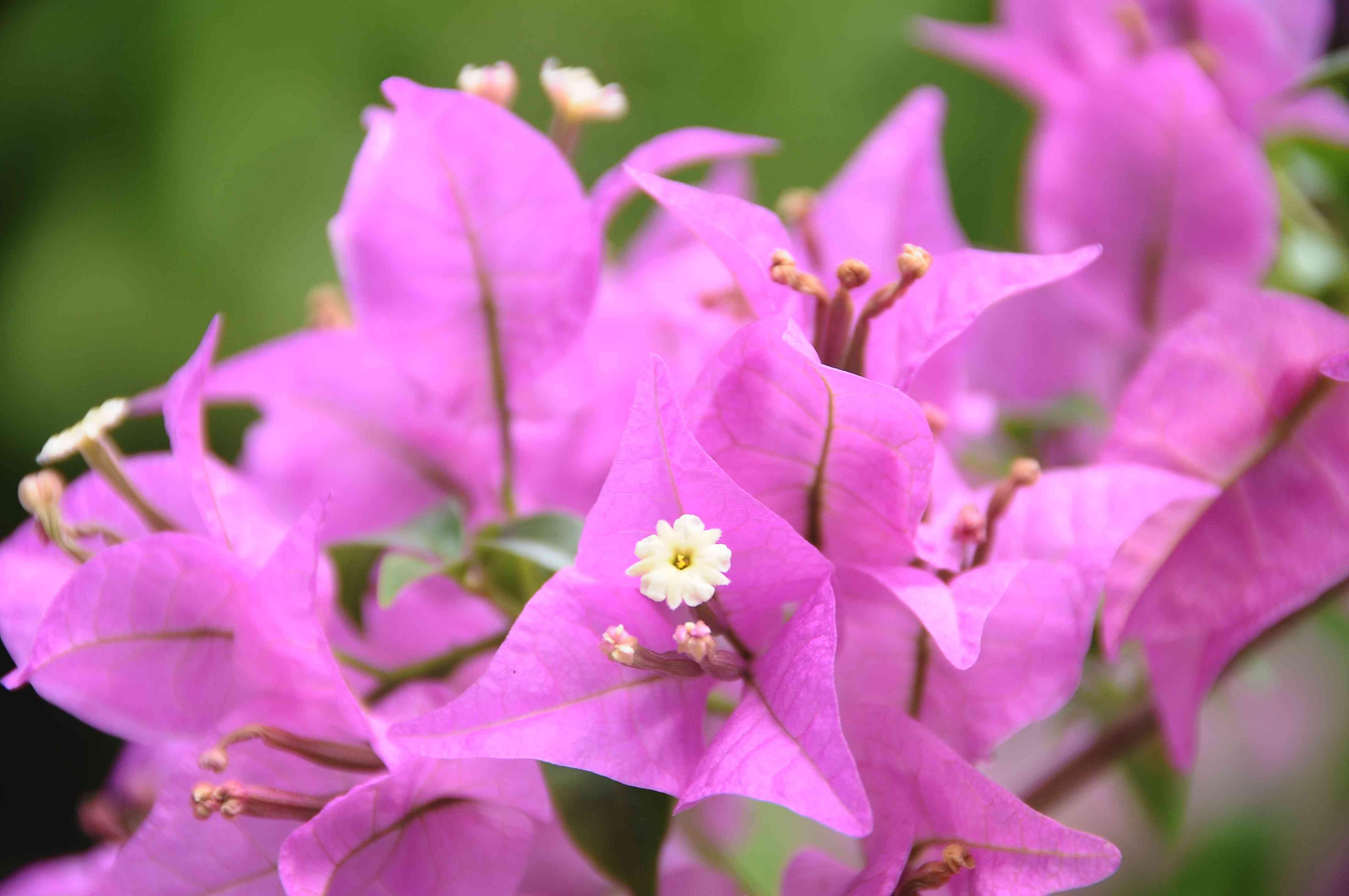 Bougainvillea pink flowers on vine closeup