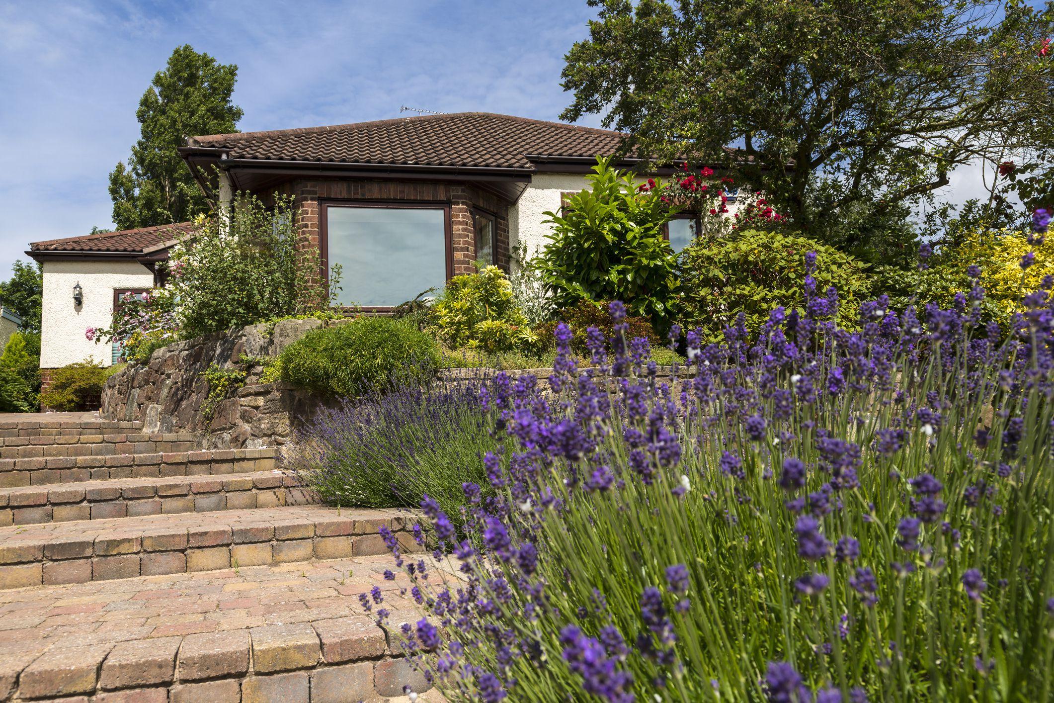 Lavender along garden path
