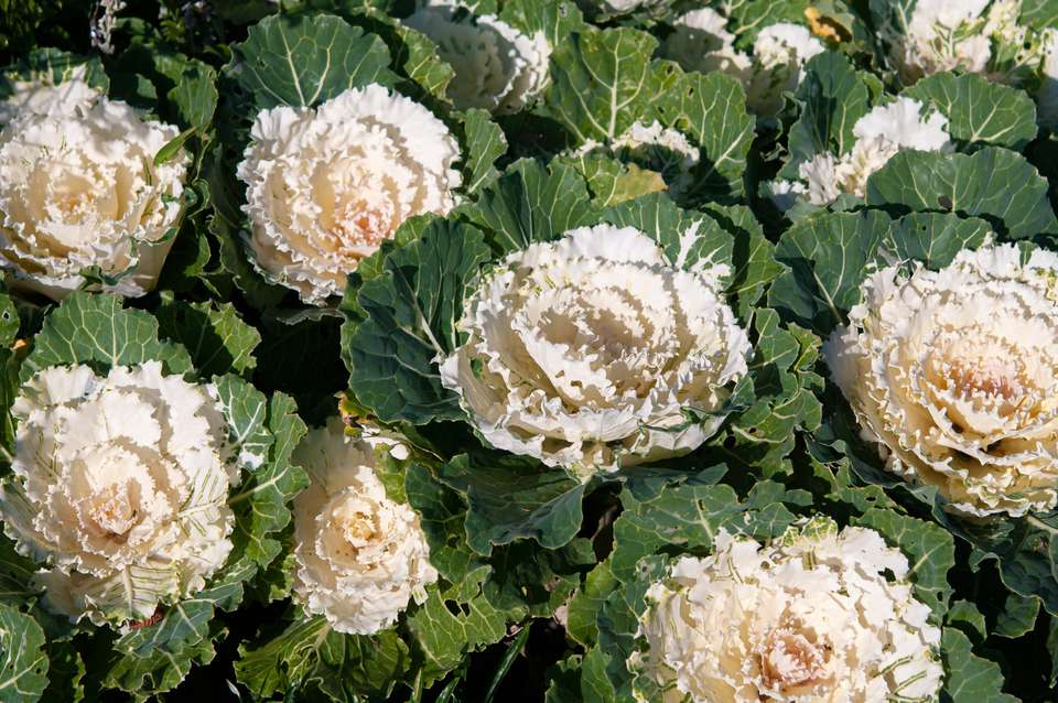Pigeon white ornamental cabbage stacked on each other with creamy white centers