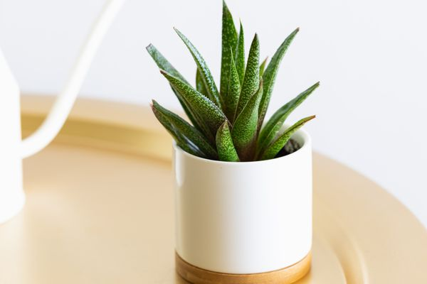 gasteria succulent on a tray