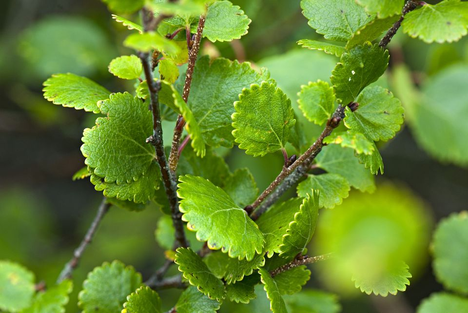 Dwarf Birch, Betula nana. Alaska. USA. Dwarf Birch is a deciduous, low and spreading shrub. Native to tundra landscapes, is cold-hardy in Zones 2 through 7 and provides year-round interest.