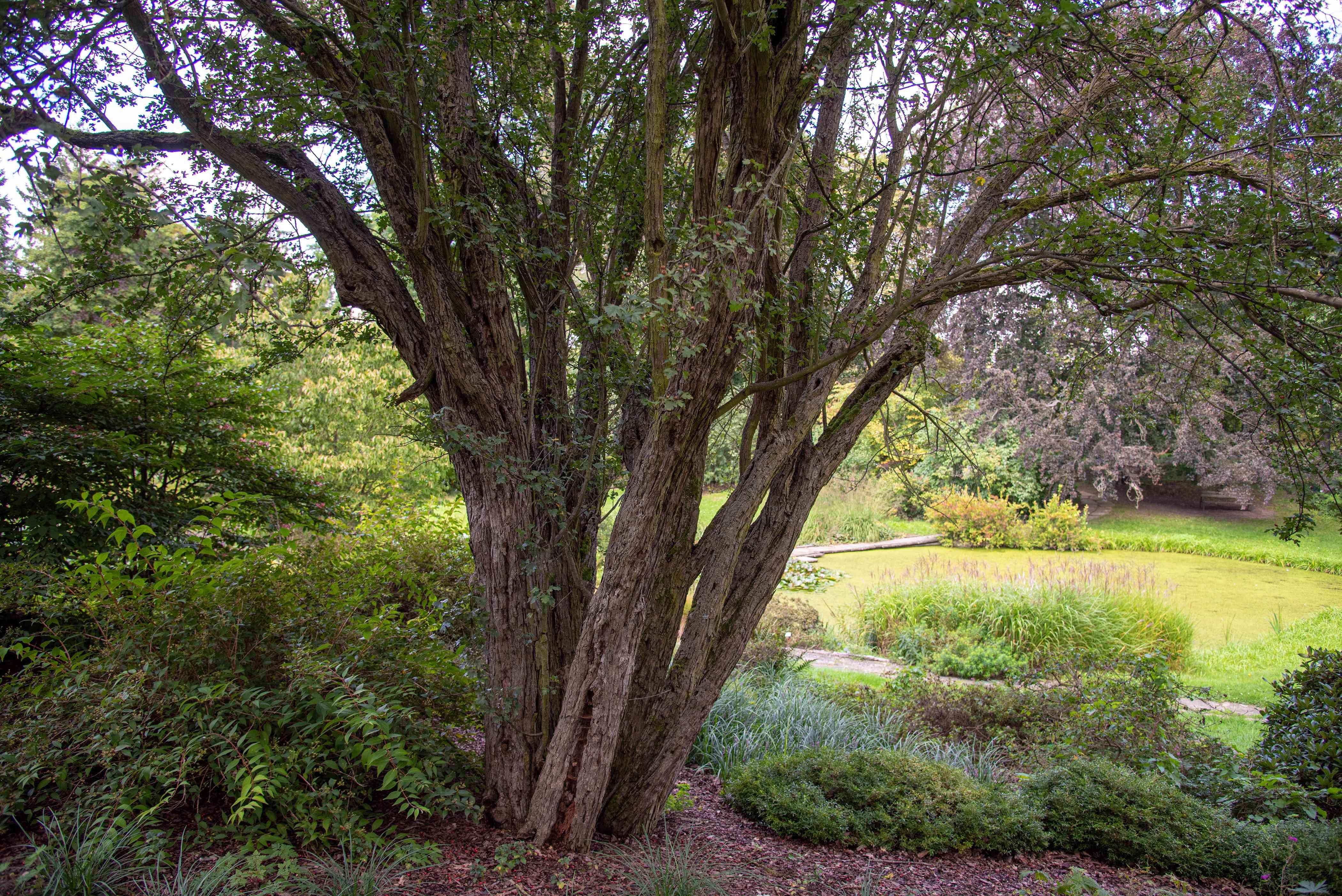 English hawthorn tree with multiple trunks sprawling upwards in garden