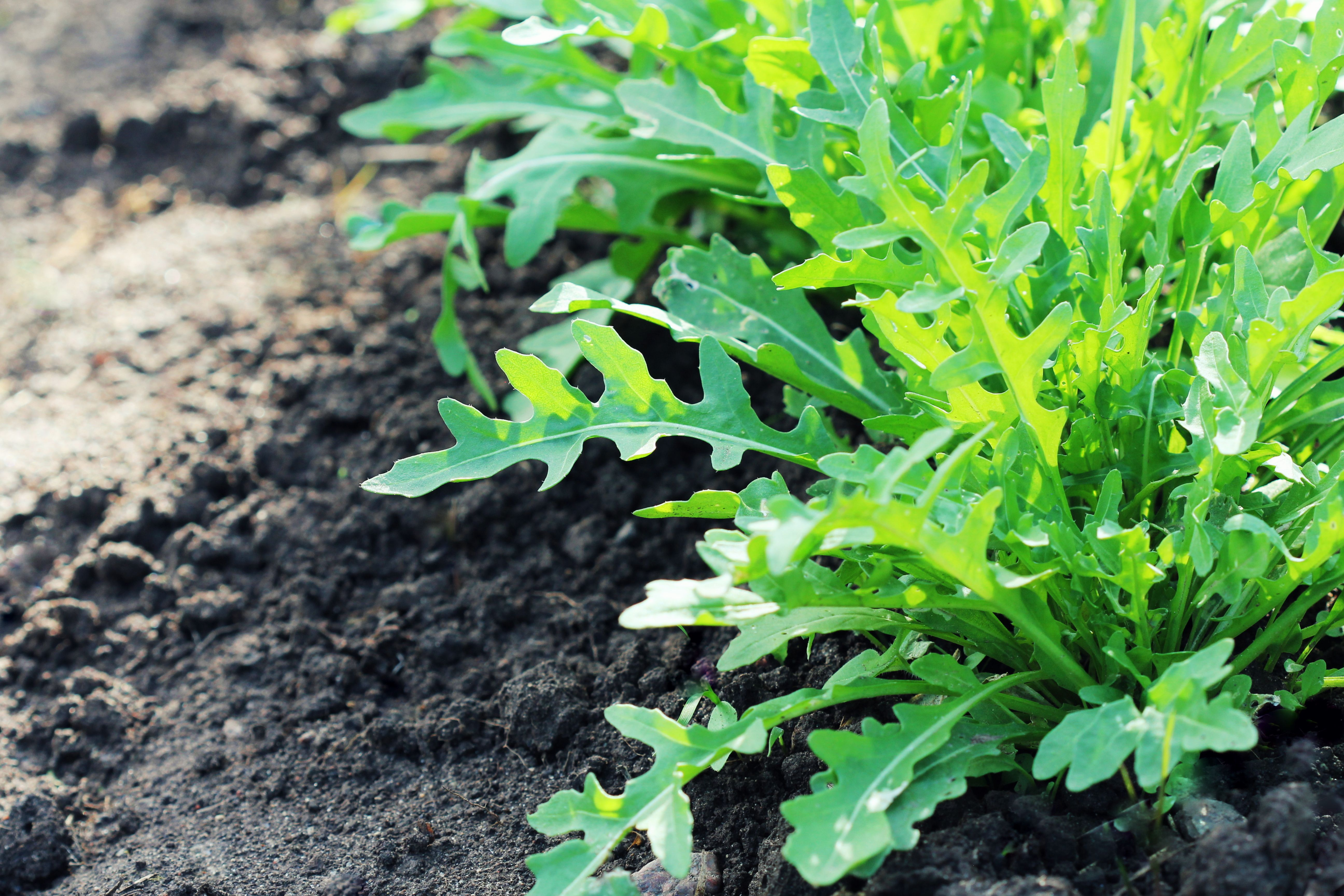 Arugula plant growing in organic vegetable garden.