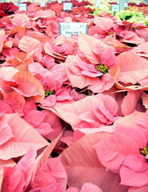 imagen de flor de pascua de rubor invernal
