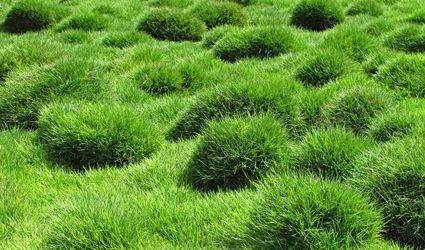 Zoysia Teniufolia Grass