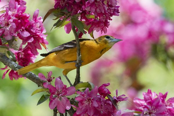 Baltimore oriole on a tree branch