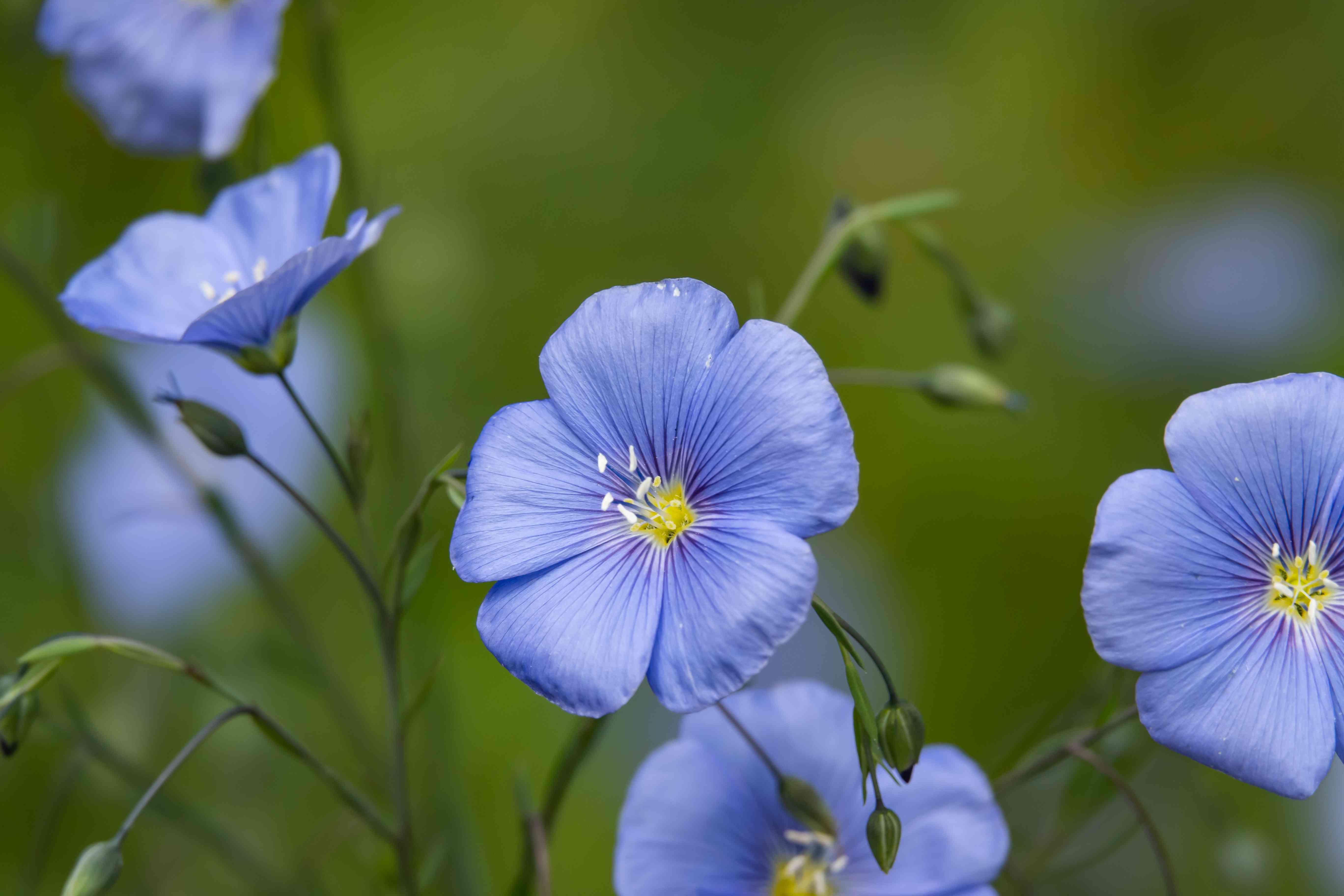 Blue Flax Flowers in Bloom in Springtime