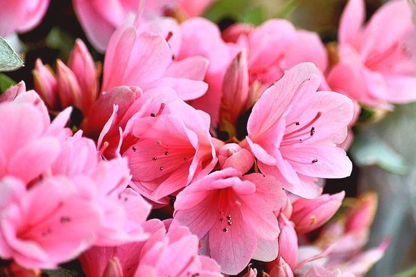 Pink azalea bushes in bloom