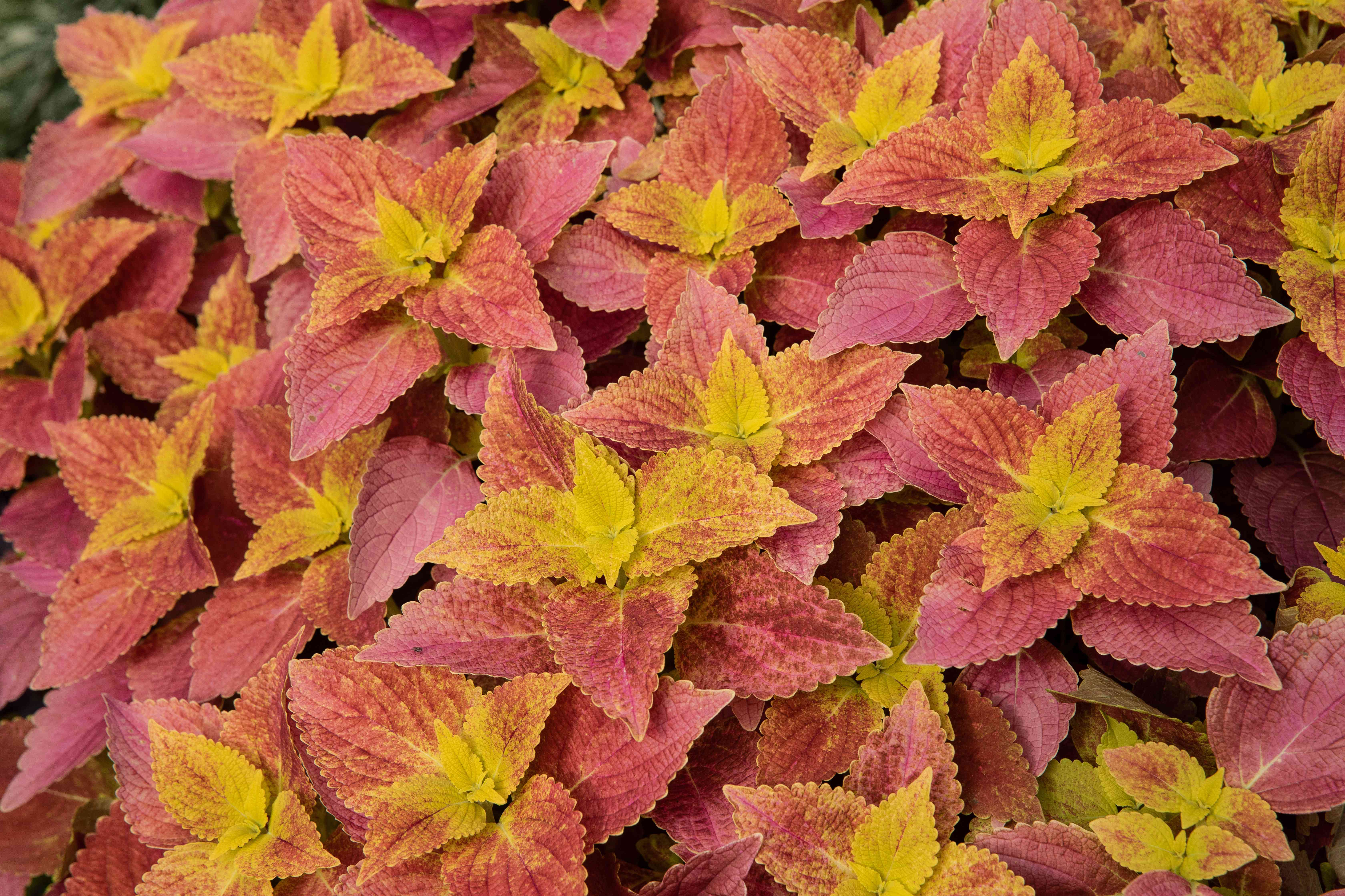 Coleus plant with red and yellow mixed leaves clustered together