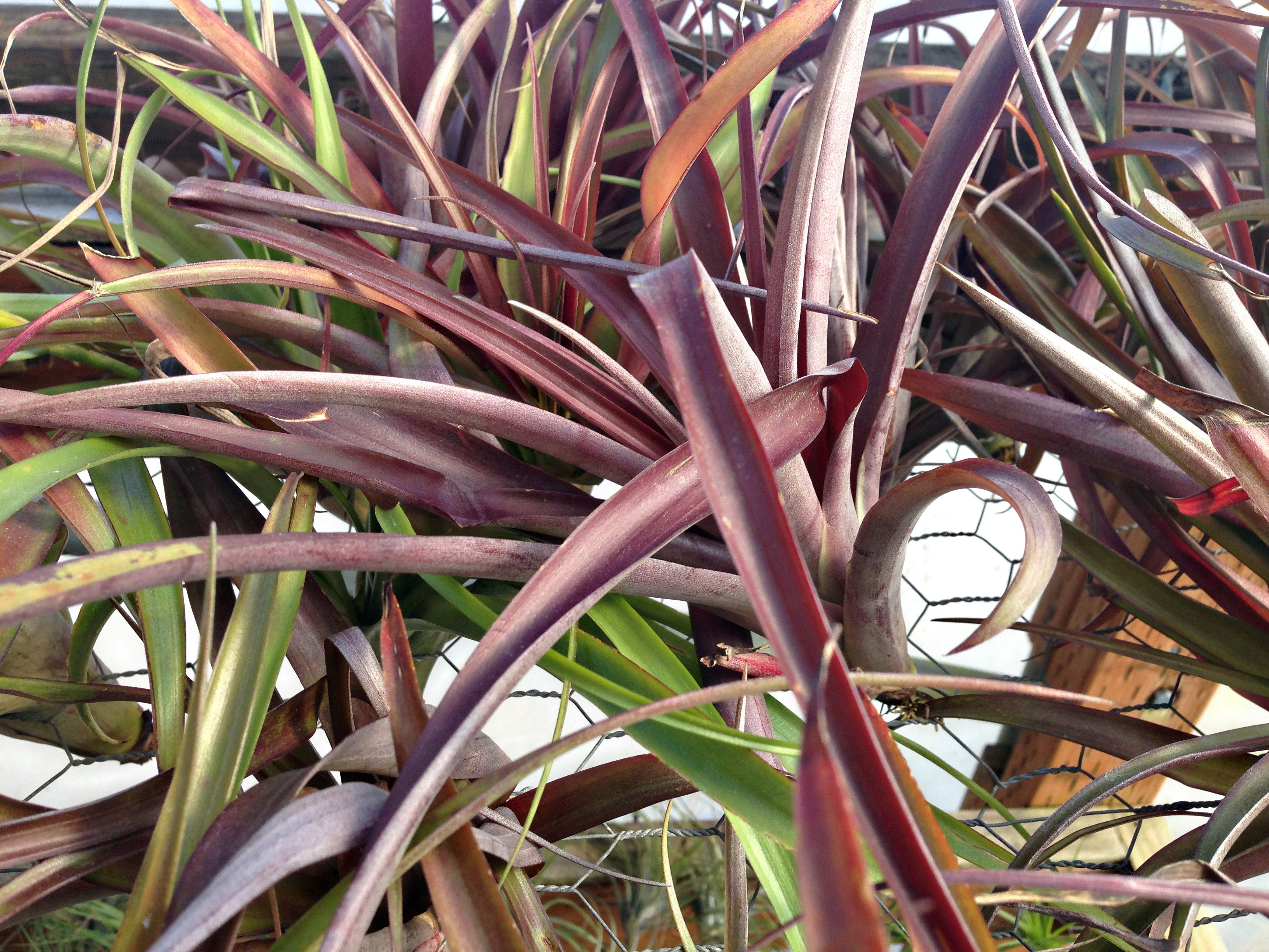 Flabellata air plant with purplish-brown and green leaves