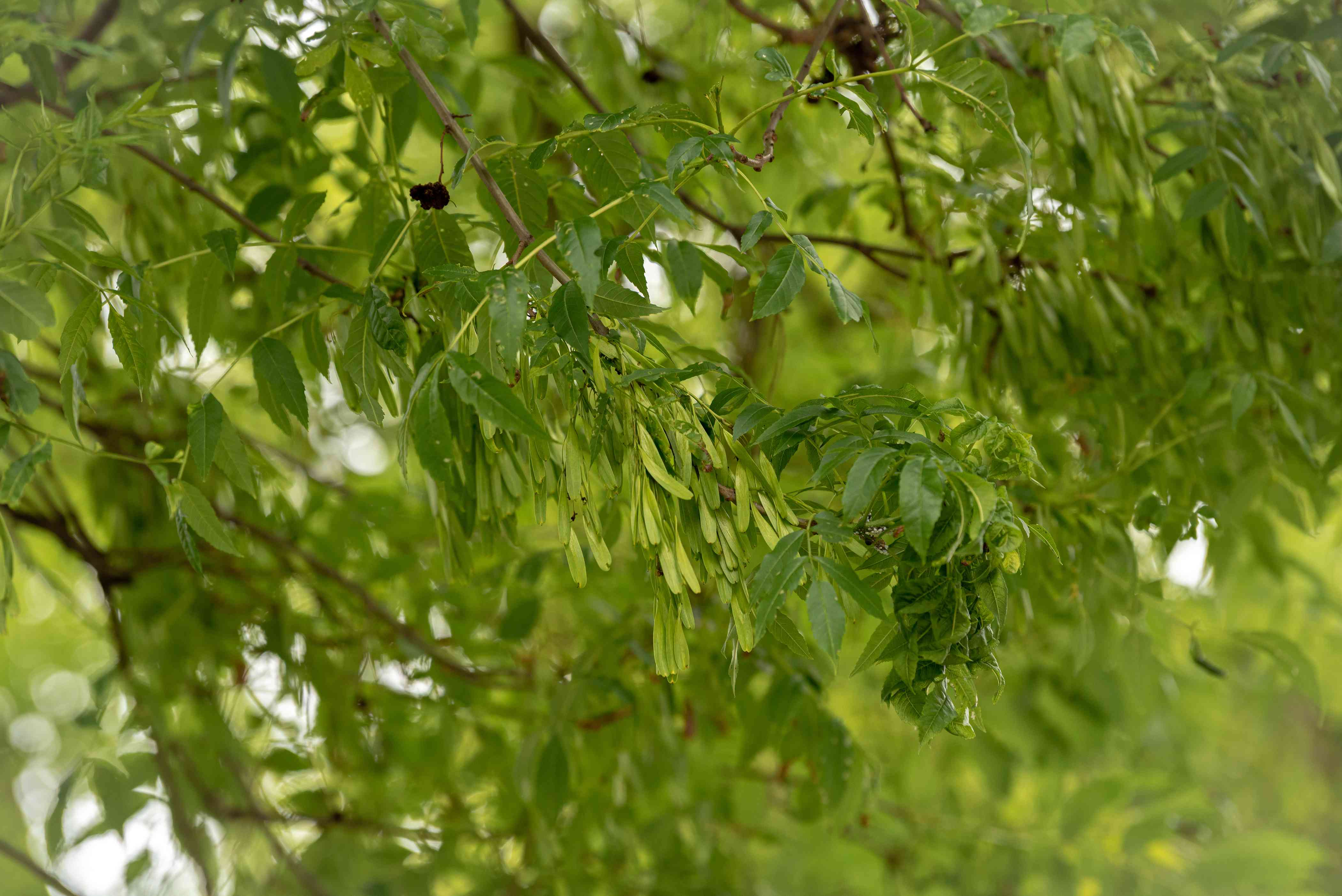 European ash tree branches with small light-green new leaves surrounded by medium-green leaves