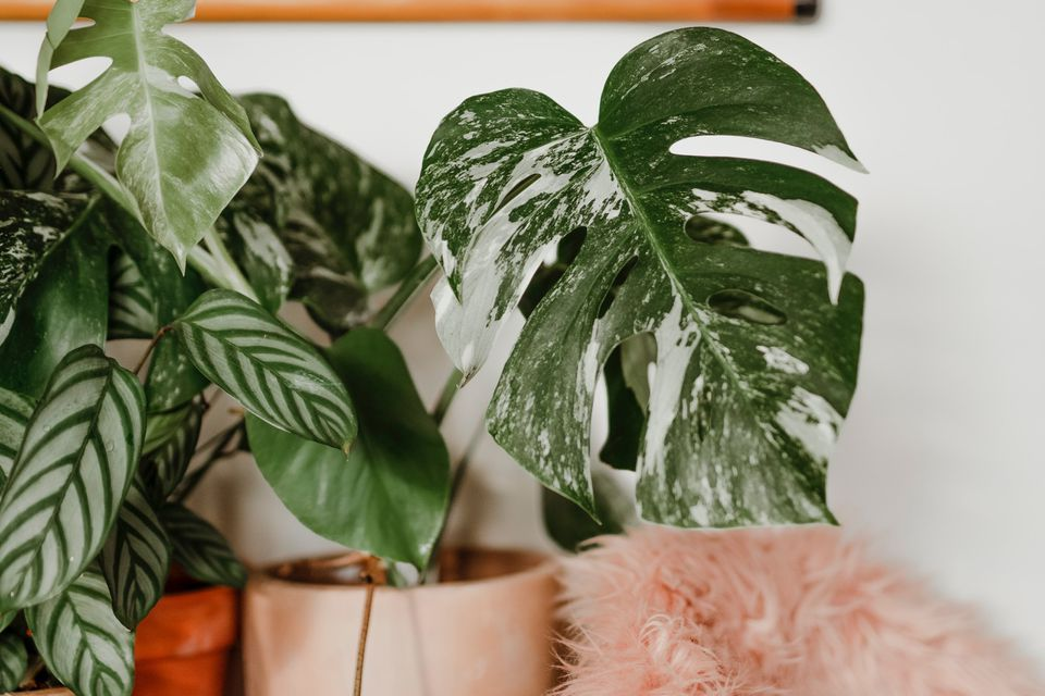 Variegated monstera 'albo' beside a calatha and Monstera deliciosa in a pink pot.