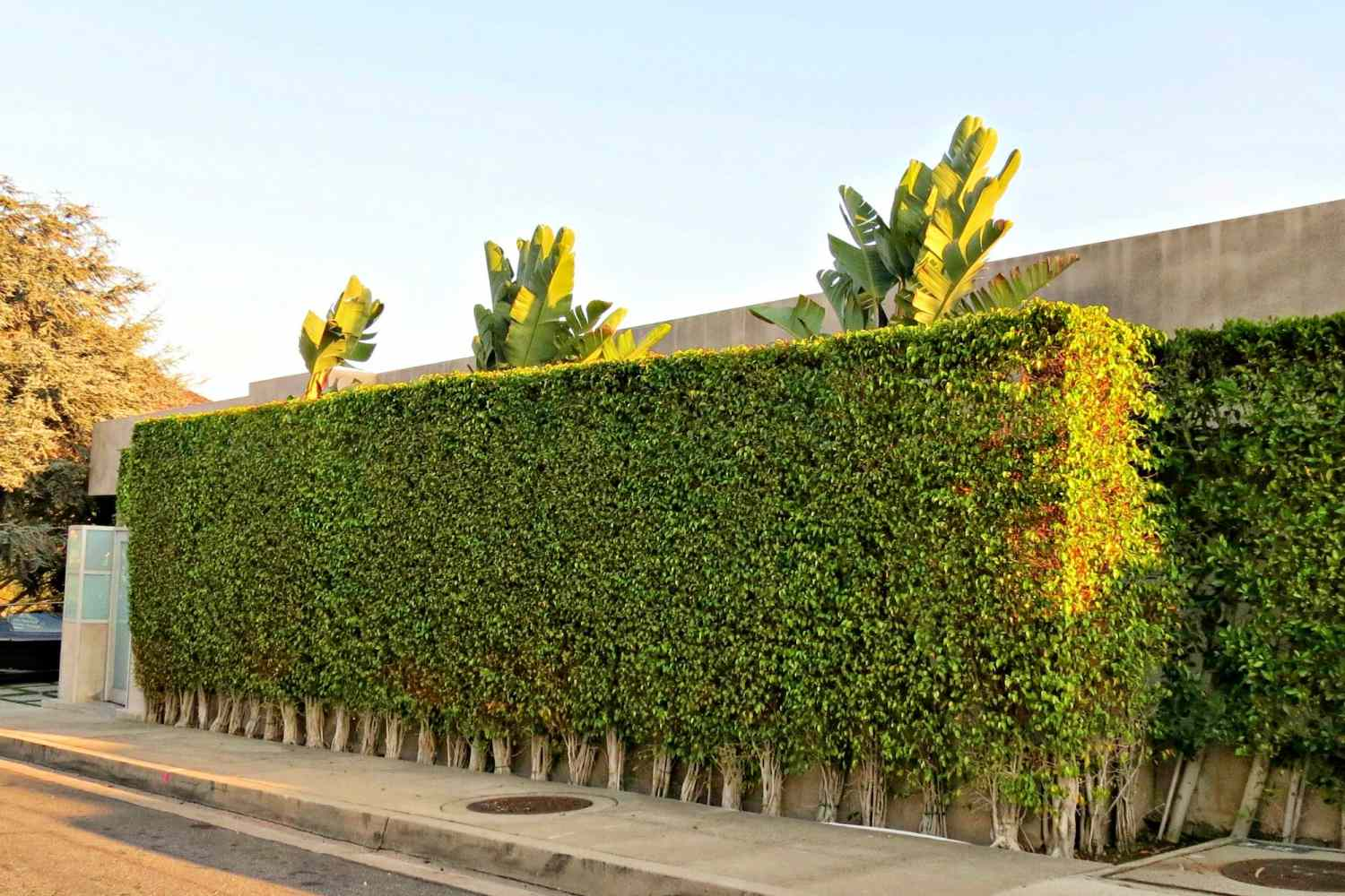 Privacy shrubs growing near a road.