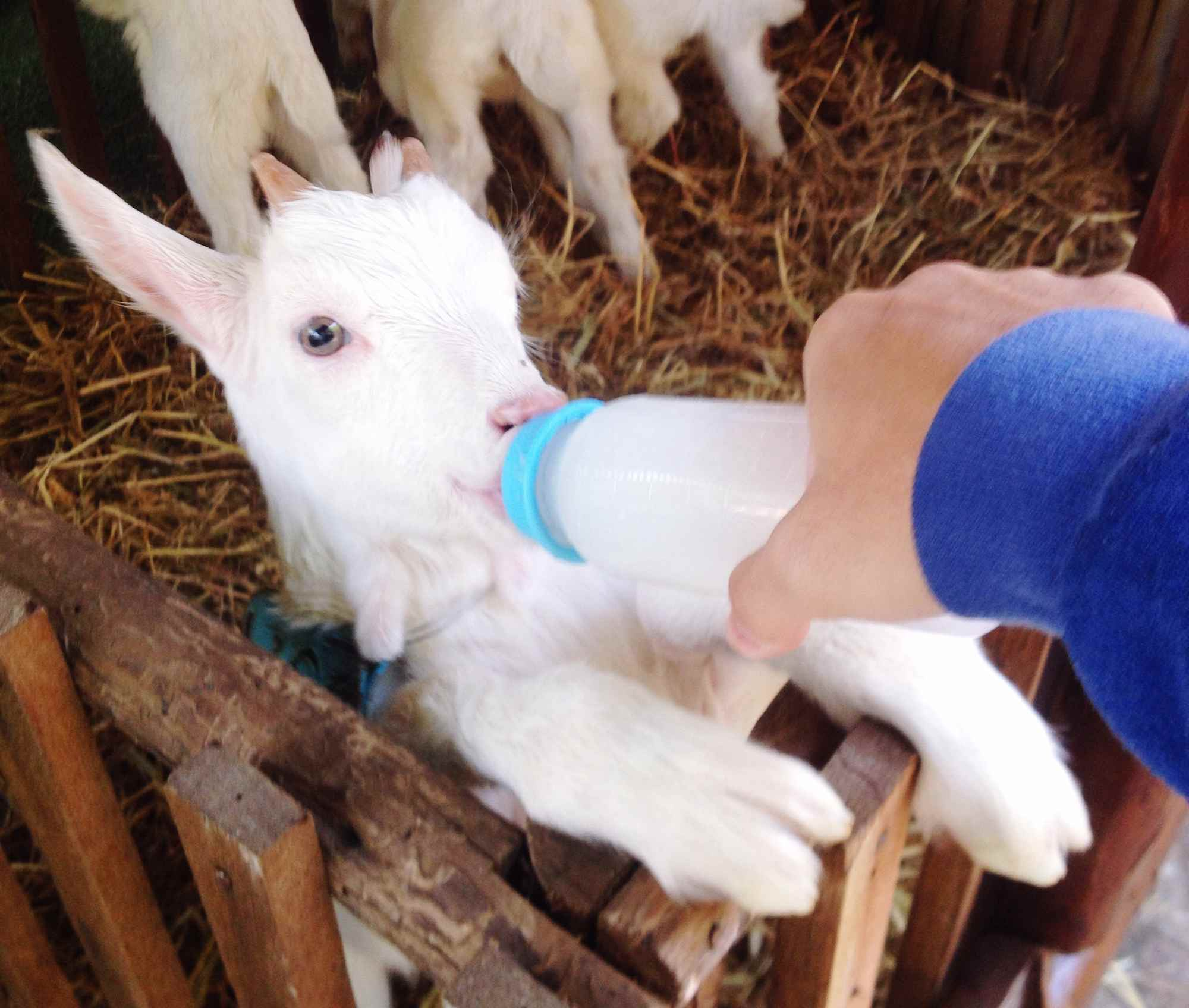 How to Raise and Care for Baby Goats