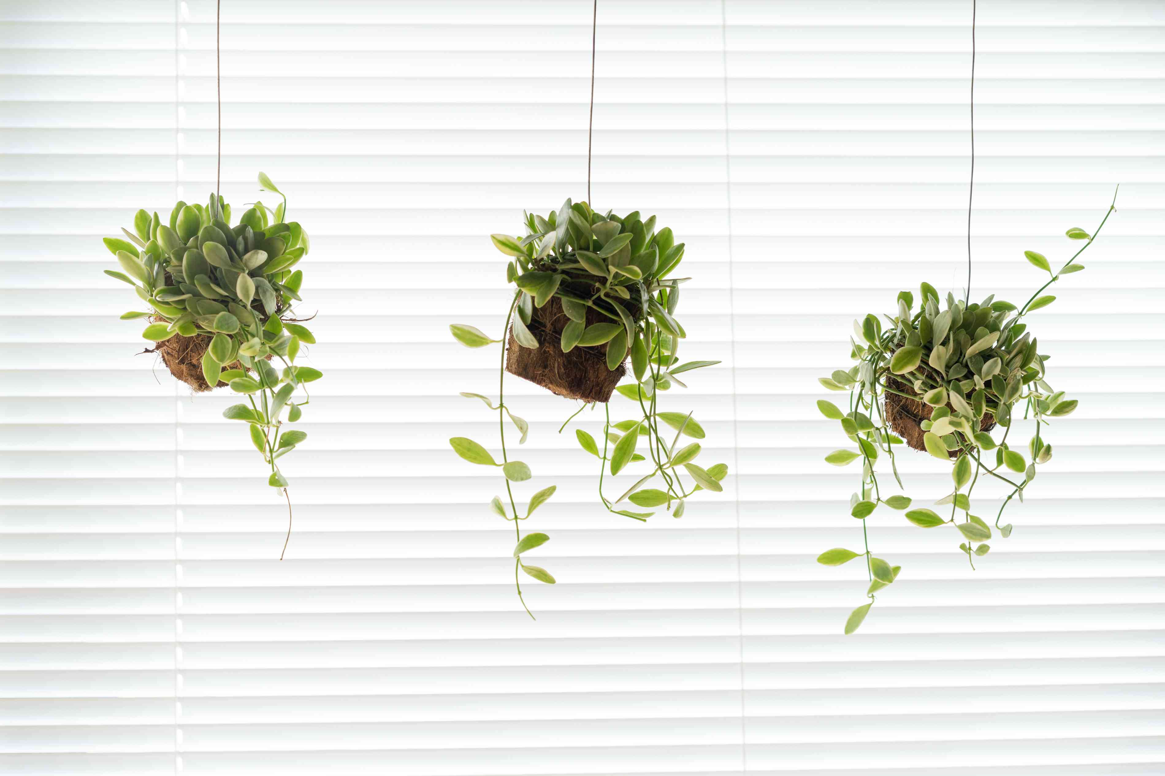 Three string of nickels (Dischidia nummularia) plants in hanging pots in front of a large window.