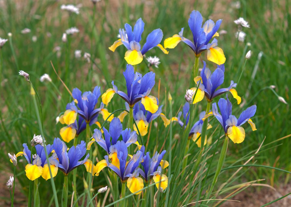 Dutch iris romano plant with blue and yellow flowers in garden