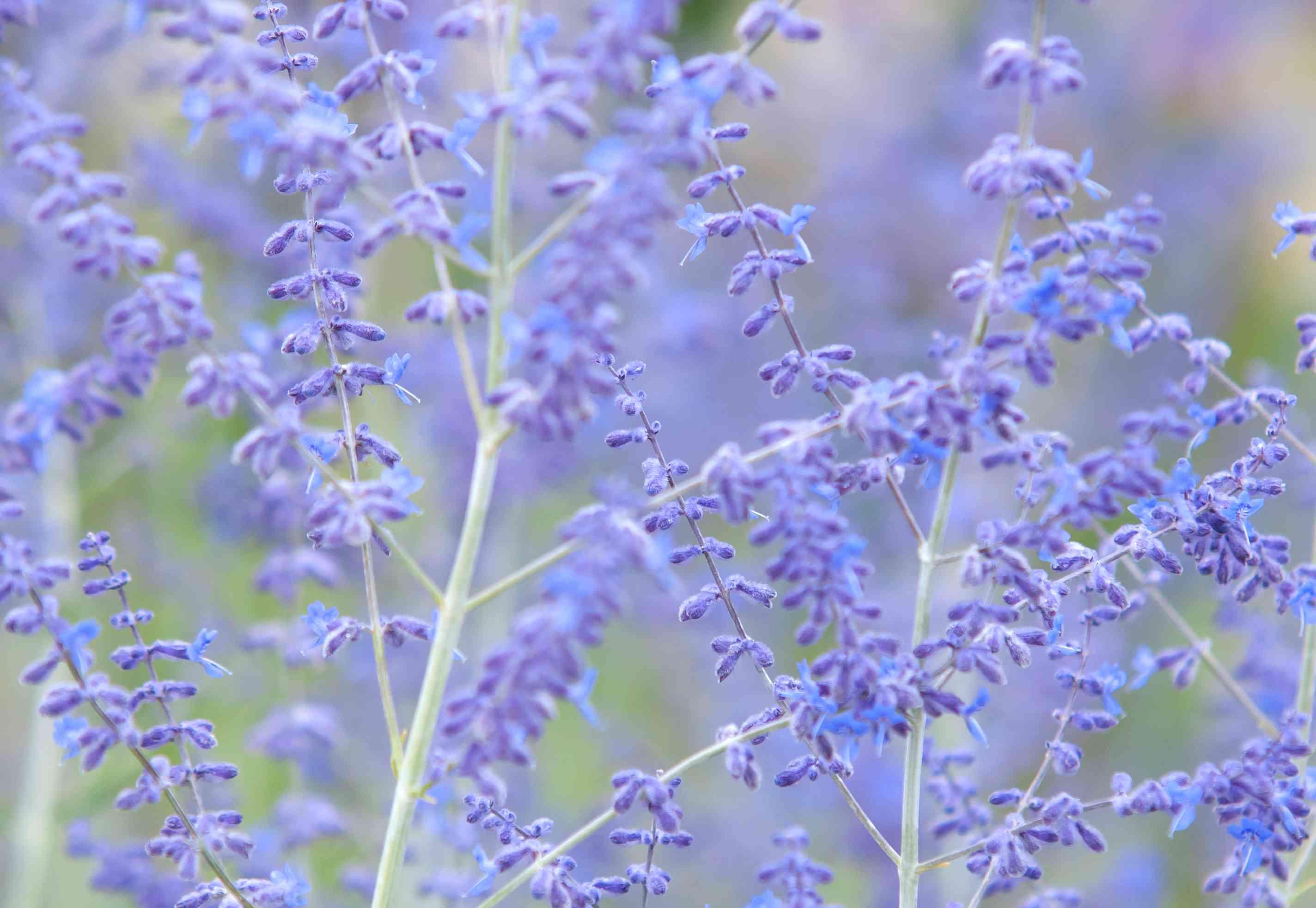 Russian sage stem with purple flowers closeup