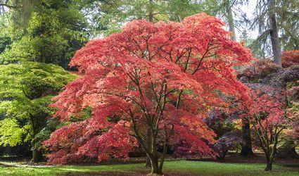 Japanese Maple at Westonbirt Arboretum