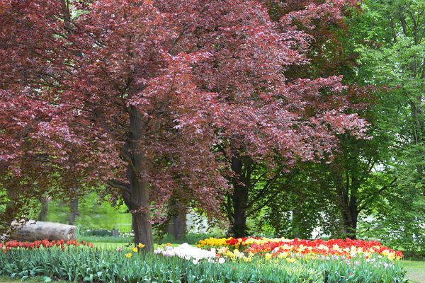 Tricolor beech tree with copper colored leaves in middle of red and yellow tulip garden
