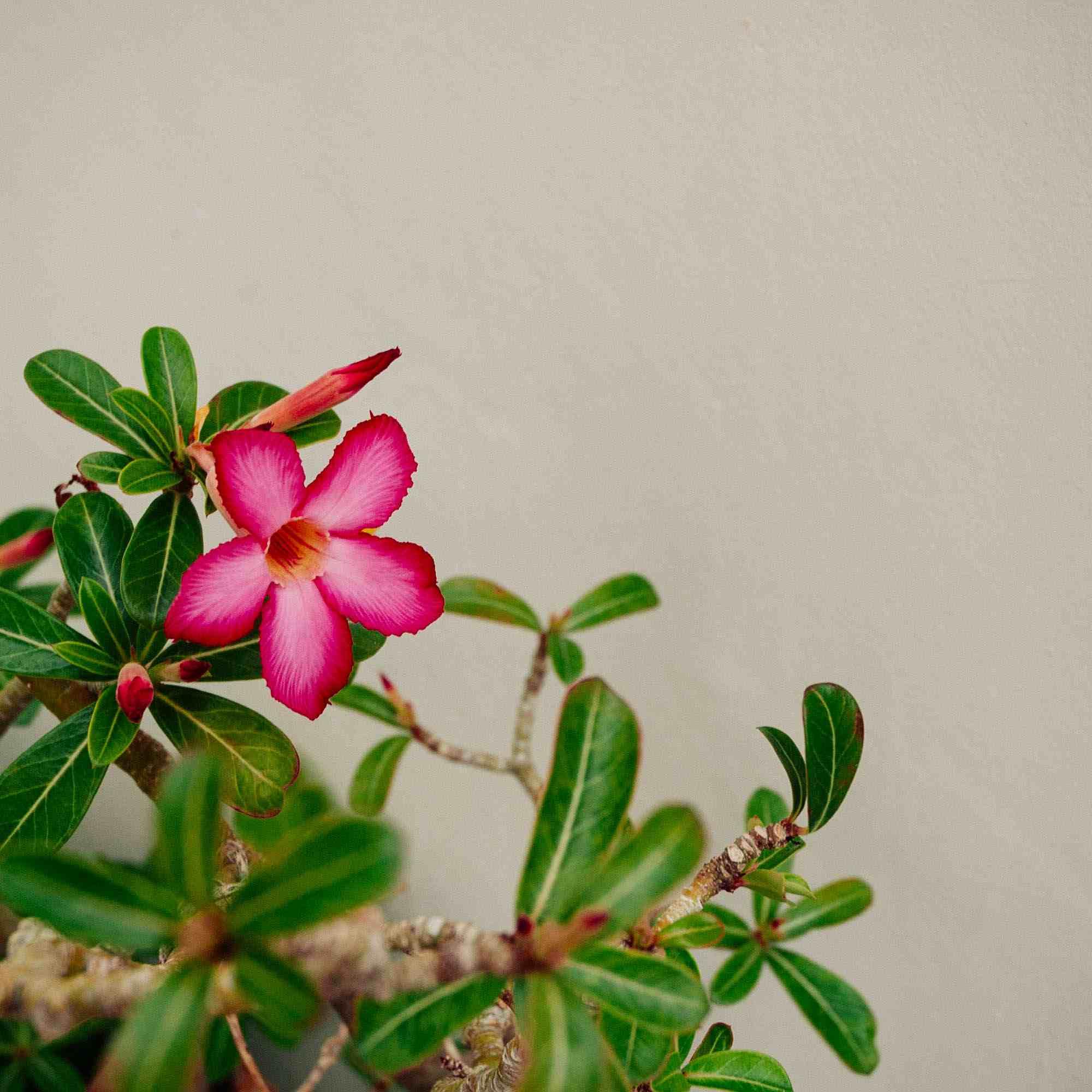 Rosa del desierto (Adenium obesum)
