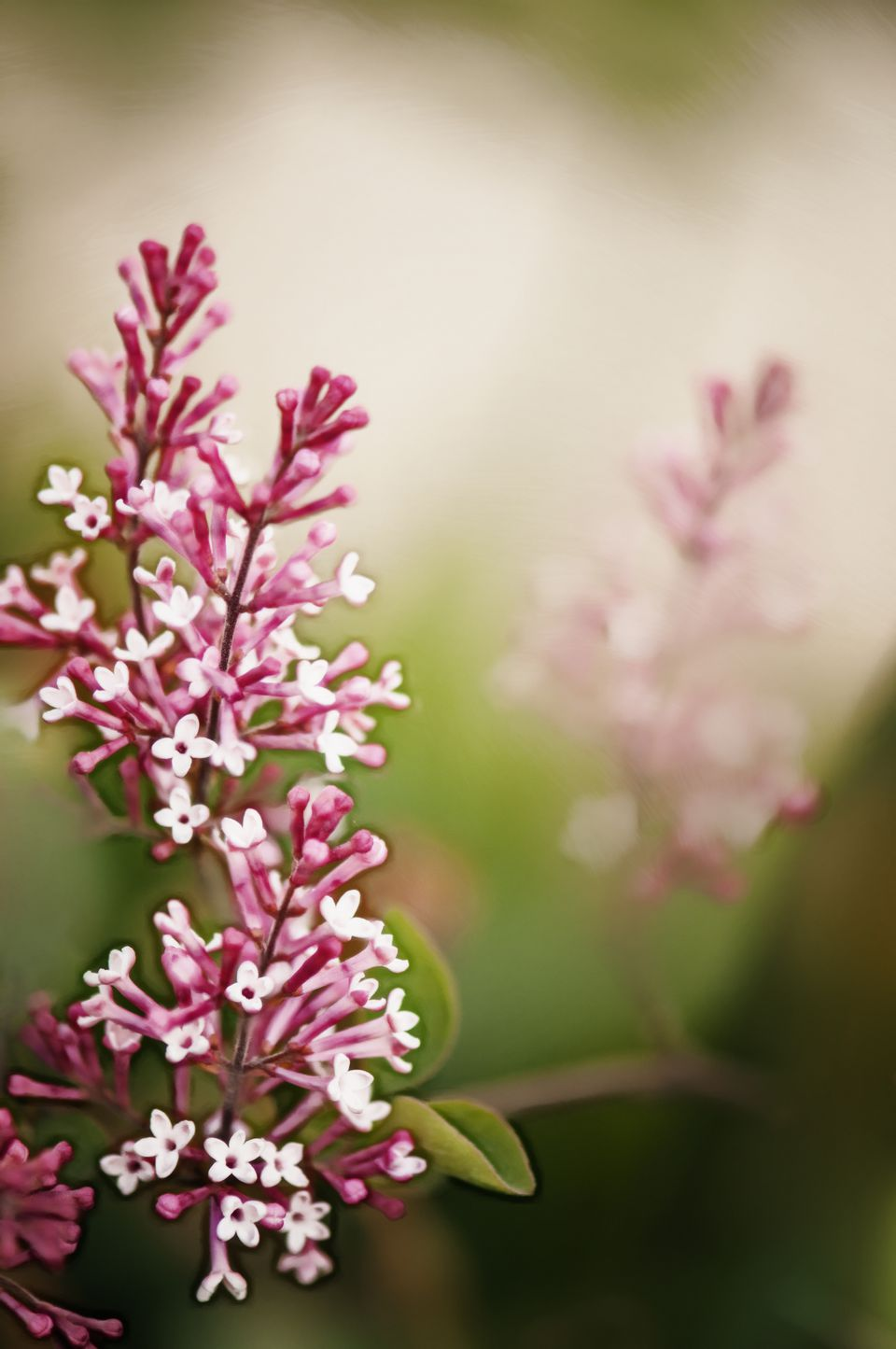 15 Beautiful Lilac Varieties
