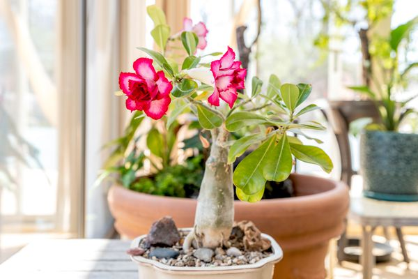 Desert rose plant with bright and light pink flowers on succulent stem with light green leaves